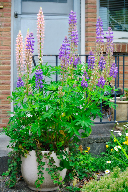 how to grow lupins in pots