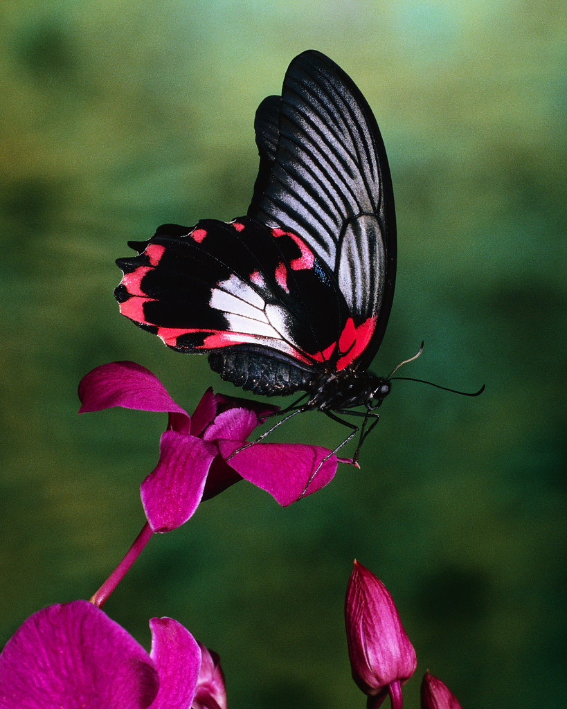 Papilio Rumanzovia Butterfly on Flower
