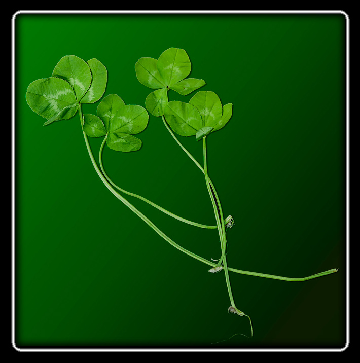 four four-leaf clovers found by Domesticus