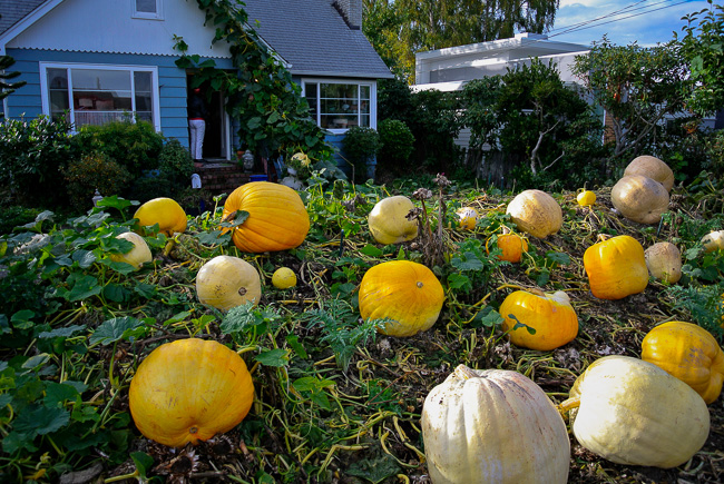 pumpkin field in front of house