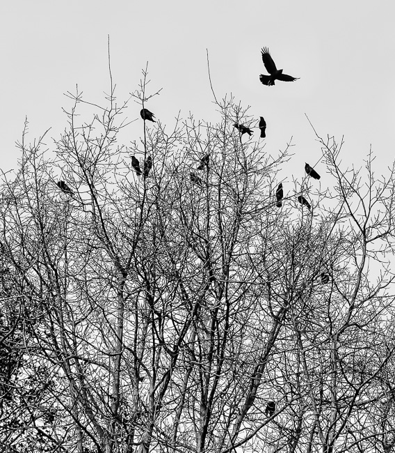 Tree full of crows