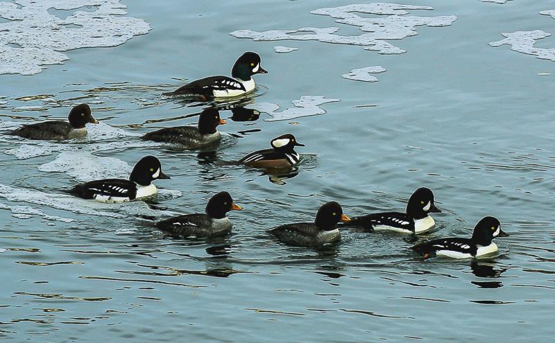 Ducks at the Ballard Locks