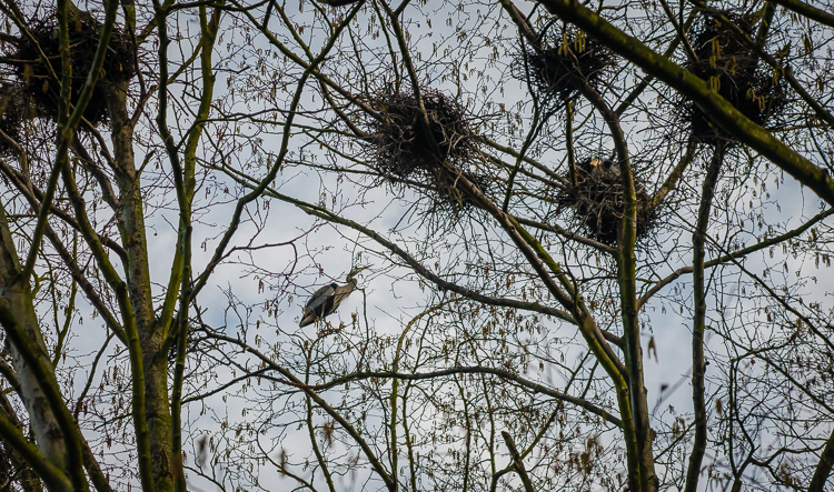 heron nests
