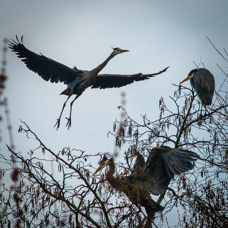 Herons in nests